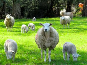 Sheep and lambs at Huntington Castle
